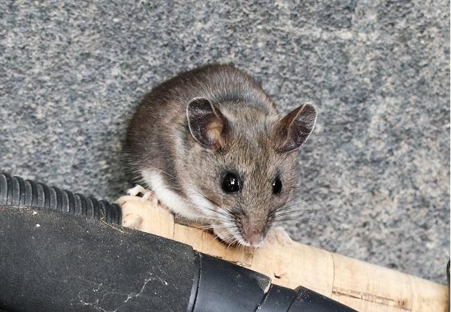 Deer & White-footed Mice