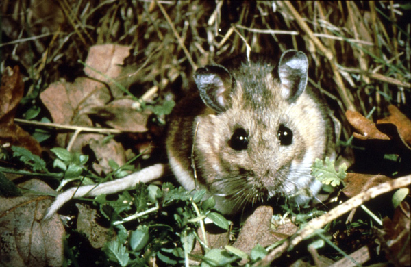 White-footed/Deer Mice