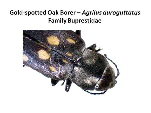 Gold-spotted oak borer