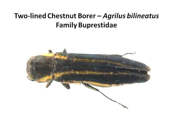 Two-lined chestnut borer