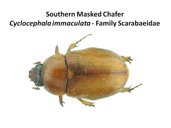 Masked chafers