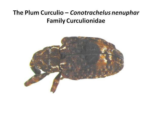 Plum curculio