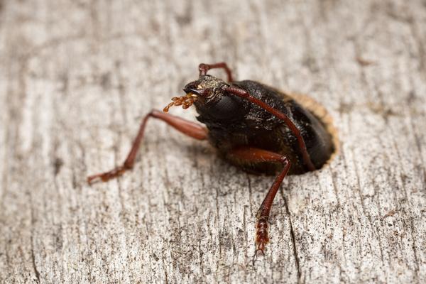 Beetles Wood Boring