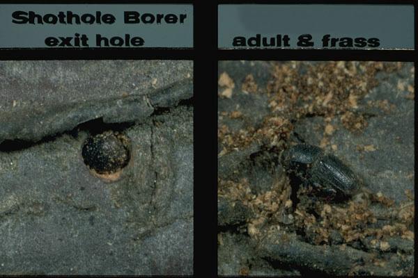 Shot hole borer