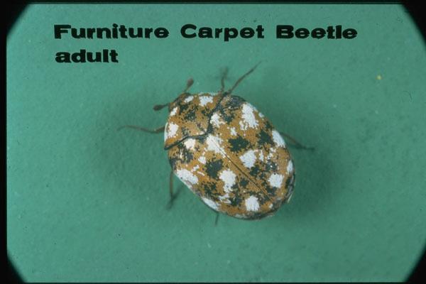 Furniture Carpet Beetle