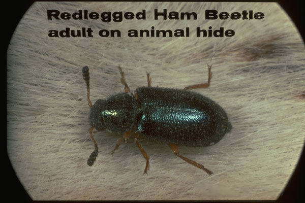 Red Legged Ham Beetle