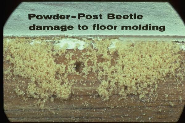 True Powderpost Beetles