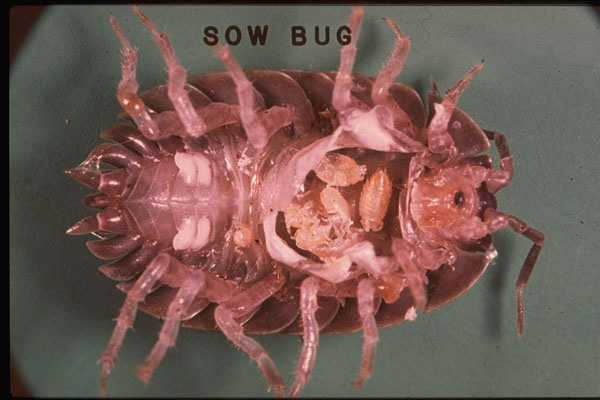 Sowbug or Woodlouse