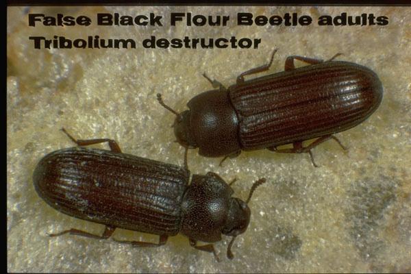 False Black Flour Beetle