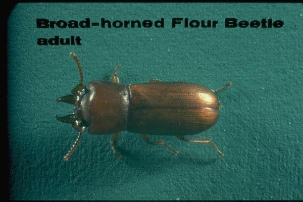Broad-horned Flour Beetle