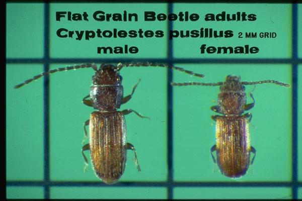 Flat & Rusty Grain Beetles
