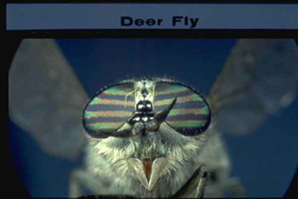 Deer Flies