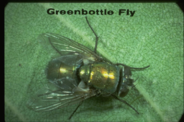 Green Blow Fly