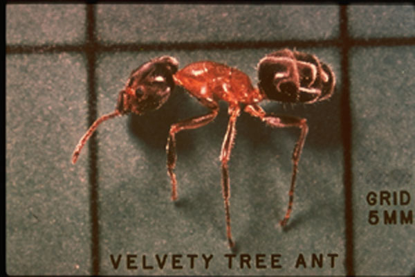 Velvety Tree Ants