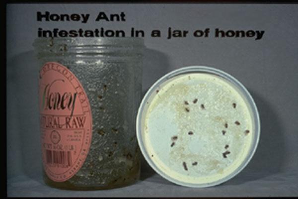 Small (False) Honey Ant