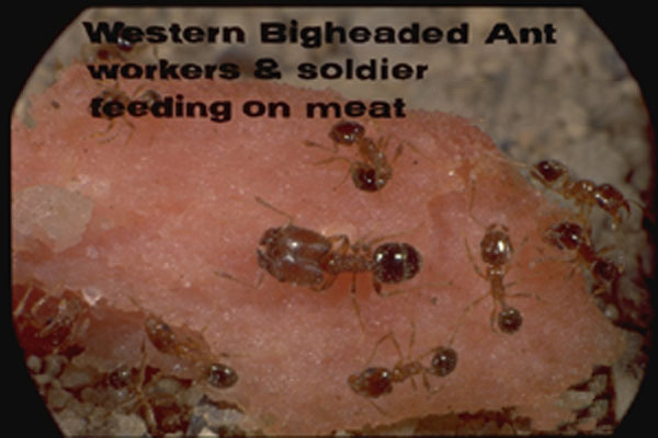 Bigheaded Ants