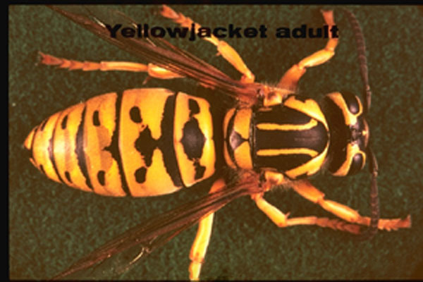 Western Yellowjacket