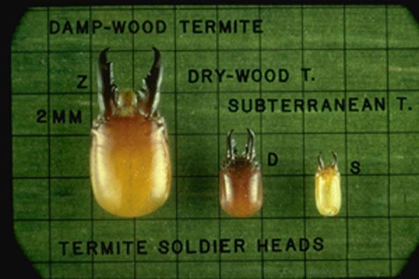 Western Drywood Termite
