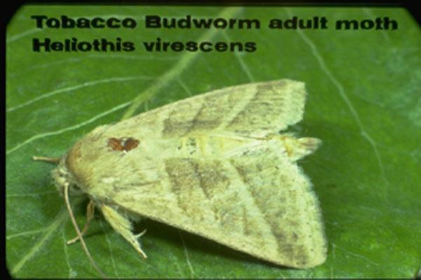 Tobacco Budworm