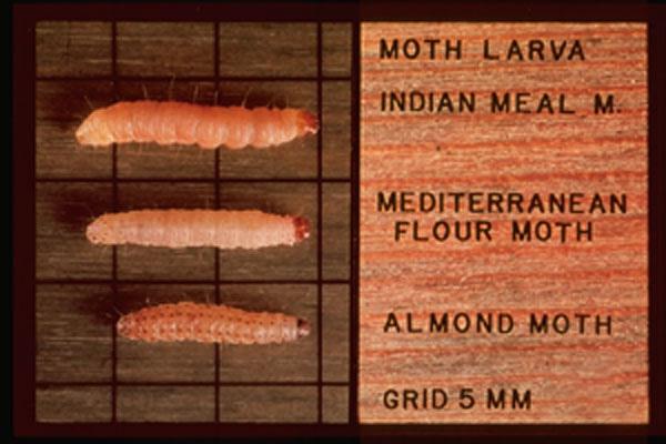 Almond Moth