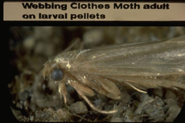Webbing Clothes Moth