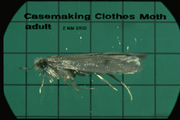 Casemaking Clothes Moth