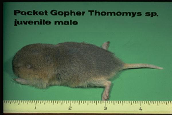 Pocket gopher