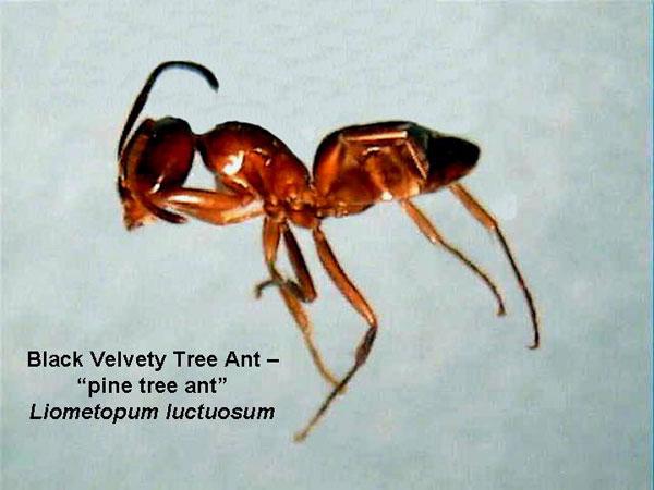 Pine Tree Ant